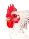 Portrait of white hen Royalty Free Stock Photos