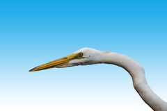 Portrait of a White Heron.  Royalty Free Stock Photography