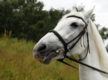 Portrait white horse Stock Photography
