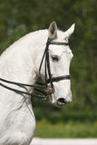 Portrait of white horse. Side portrait of white horse wearing riding tack at dressage event, green nature background Royalty Free Stock Photo