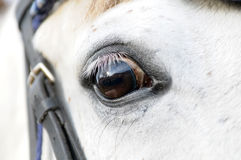 Portrait of white horse Royalty Free Stock Images