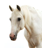 Portrait of a white horse. Isolated on white Stock Image