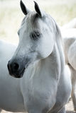 Portrait of white horse Stock Photography