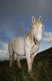 Portrait of white horse Stock Image