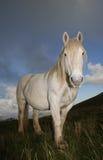 Portrait of white horse Stock Image