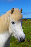 Portrait of a white horse with brown ears Royalty Free Stock Photo