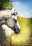 Portrait of white horse Royalty Free Stock Image