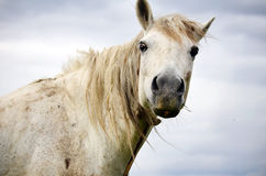 Portrait of white horse on a cloudy sky background Royalty Free Stock Photos