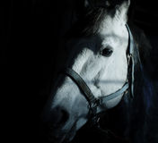 Portrait of a white horse in darkness Royalty Free Stock Images