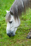 Portrait of a white horse eating the grass Royalty Free Stock Image
