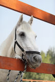 Portrait of white horse on farm Stock Images