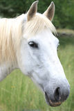 Portrait of a white horse Royalty Free Stock Photo