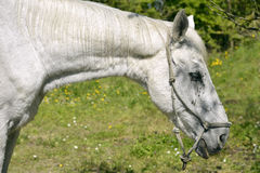 Portrait of white horse Royalty Free Stock Photography