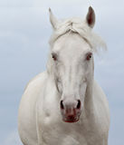 Portrait of a white horse on the sky background Stock Image
