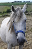 Portrait of white horse in Spain Royalty Free Stock Photo