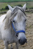 Portrait of white horse in Spain Royalty Free Stock Photography