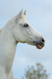 Portrait of a white horse. Portrait of a white tersk horse stock photo
