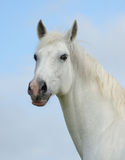 Portrait of a white horse. Portrait of a white tersk horse Stock Photography