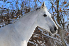 Portrait of white horse in winter Stock Photo