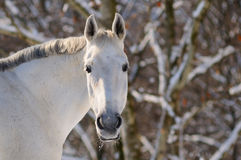 Portrait of white horse in winter Royalty Free Stock Images