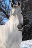 Portrait of white horse in winter Royalty Free Stock Photos