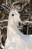 Portrait of white horse in winter Royalty Free Stock Photography