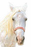 Portrait of a white horse Royalty Free Stock Photos
