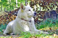 Portrait of a white husky mix dog royalty free stock photos