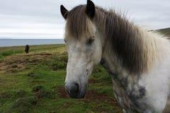 Portrait of a white icelandic horse, Iceland Stock Image