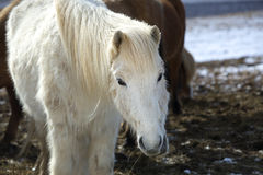 Portrait of a white Icelandic horse in winter landscape Royalty Free Stock Images