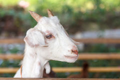Portrait of a white kid Goat in a Goat farm Stock Photo