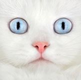 Portrait of a white kitten Stock Photography