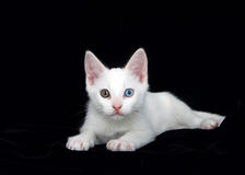 Portrait of a white kitten with heterochromia eyes black background Royalty Free Stock Image