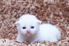 Portrait of white kitten sitting on carpet Stock Photography