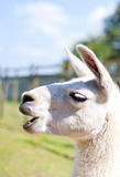 Portrait of a white lama Stock Photos