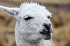 Portrait of a white lama. Close-up Royalty Free Stock Photos
