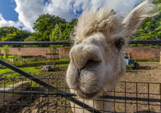 Portrait of a white lama. At Heaton Park in Manchester Stock Image