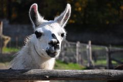 Portrait of a white lama. Llama head close-up portrait on nature background Royalty Free Stock Photos