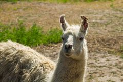 Portrait of a white lama. Llama in paddock Stock Photography