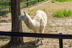 Portrait of a white lama. Llama in paddock Royalty Free Stock Images
