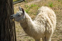 Portrait of a white lama Royalty Free Stock Photos