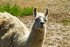 Portrait of a white lama. Llama in paddock Royalty Free Stock Photos