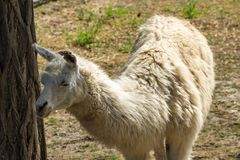 Portrait of a white lama. Llama in paddock Stock Image