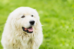 Portrait of a white large fluffy dog with attentive eyes on a natural green background, selective focus. With place for Stock Photography