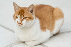 Portrait of white-light brown cat sitting on the floor isolated. On blur background Stock Images
