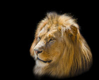 Portrait of a white lion. On a black background Royalty Free Stock Photos