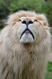 Portrait of white lion looking up Royalty Free Stock Photo