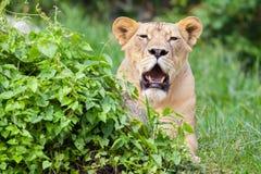 The portrait of White lion Stock Photo