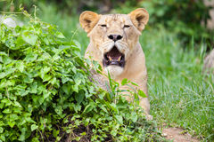 The portrait of White lion Royalty Free Stock Image