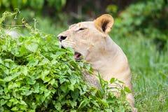 The portrait of White lion Royalty Free Stock Photos